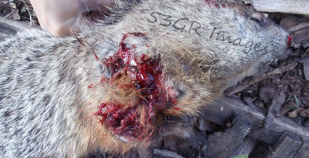 Exit wound from 7N6 surplus round